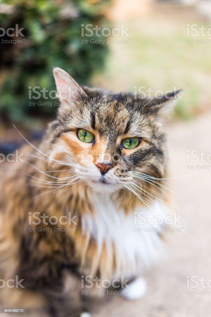 Closeup de gato de coon de maine fora na luz solar - foto de acervo