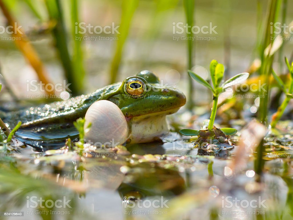 Closeup of male edible frog stock photo