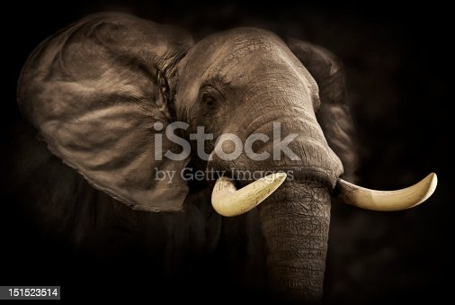 Close-up image of a massive African elephant with large tusks.