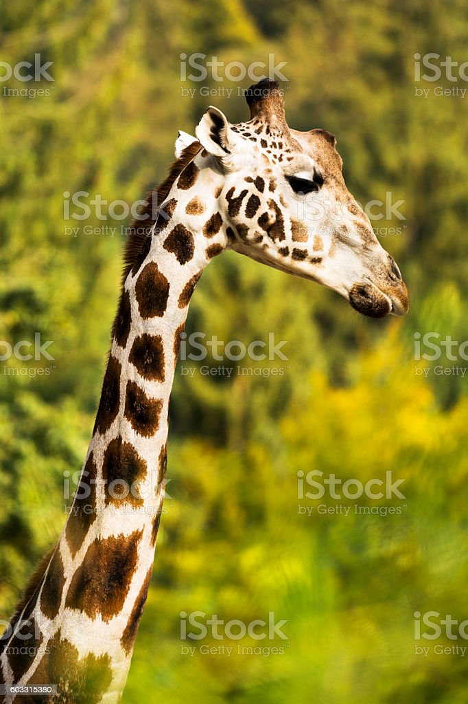 Close-up of male giraffe in front of trees stock photo