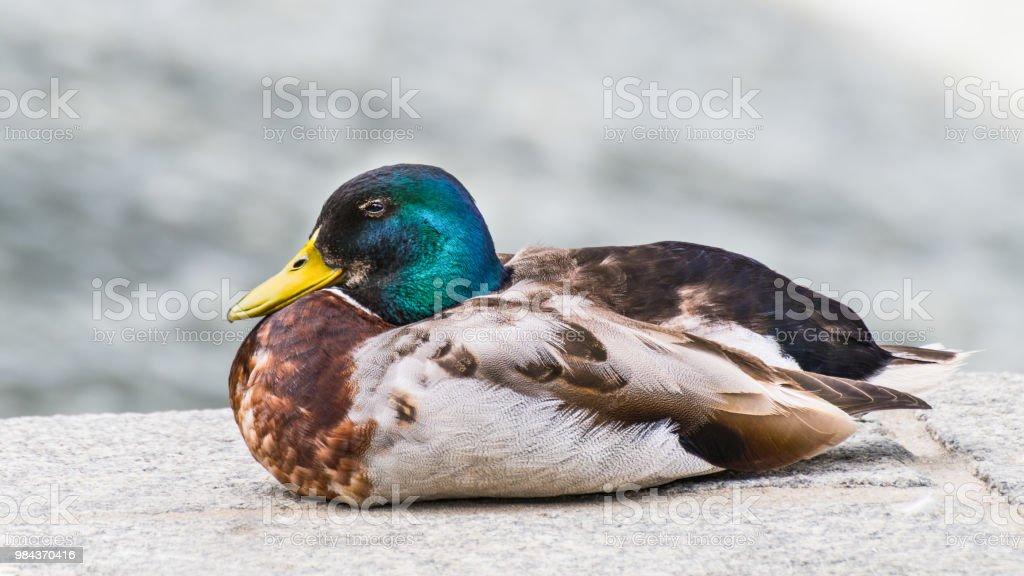 Close-up of male mallard duck in profile. Anas platyrhynchos stock photo