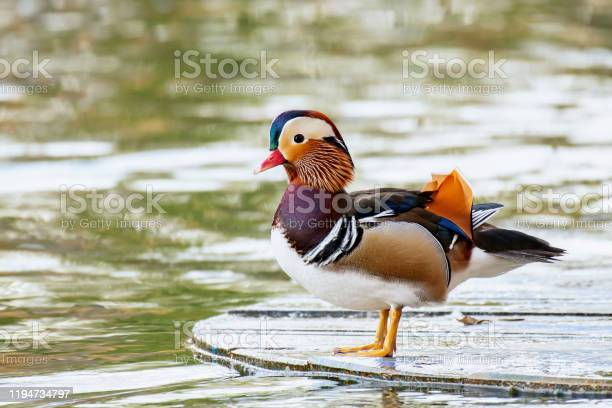 Closeup Of Male Mandarin Duck Swimming Aix Galericulata Stock Photo - Download Image Now