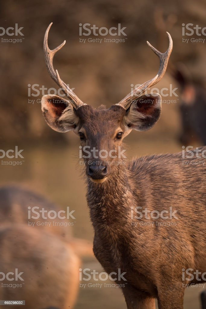 Close-up of male sambar deer with antlers stock photo
