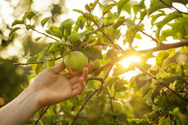 Closeup of Man Farmer Hand Picking Fresh Ripe Green Apples in Garden DayLight Healthy Life Autumn Harvest Concept stock photo