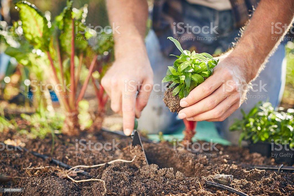 Close-up of man planting in organic farm stock photo