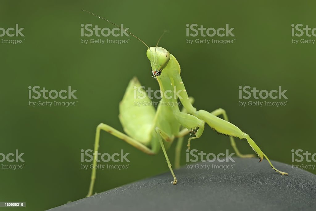closeup of mantis royalty-free stock photo