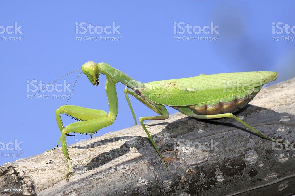 closeup of mantis stock photo