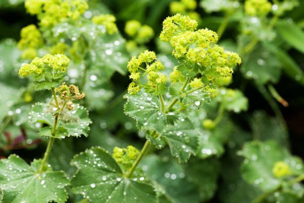 closeup of mantle flowers (alchemilla mollis) in water drops after rain. lady's-mantle - perennial garden ornamental plant. selective focus. - przywrotnik zdjęcia i obrazy z banku zdjęć