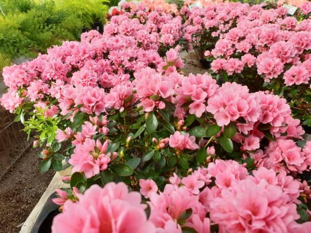 Closeup of many azalea plants in the spring season picture id1209478939?b=1&k=6&m=1209478939&s=612x612&w=0&h=33p5z56avltqv5abuel0hdmhkn1680qxn9s6uz7inui=