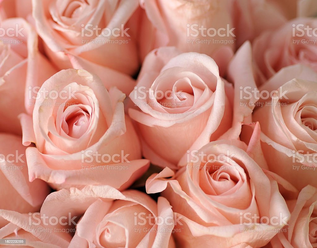 Close-up of many beautiful light pink roses royalty-free stock photo
