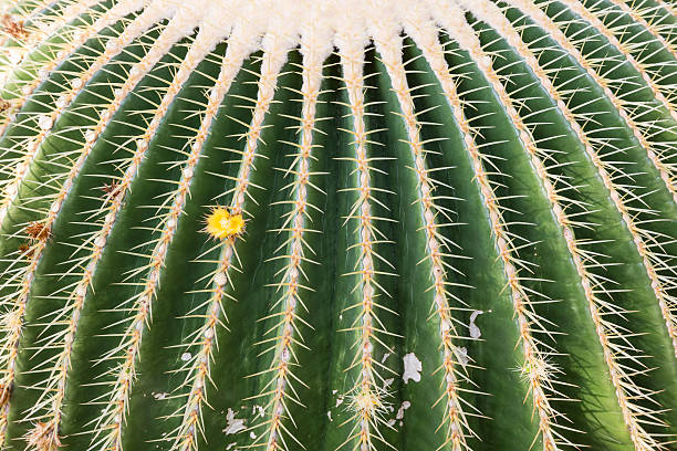 Closeup of many big cactuses in a botanical garden stock photo