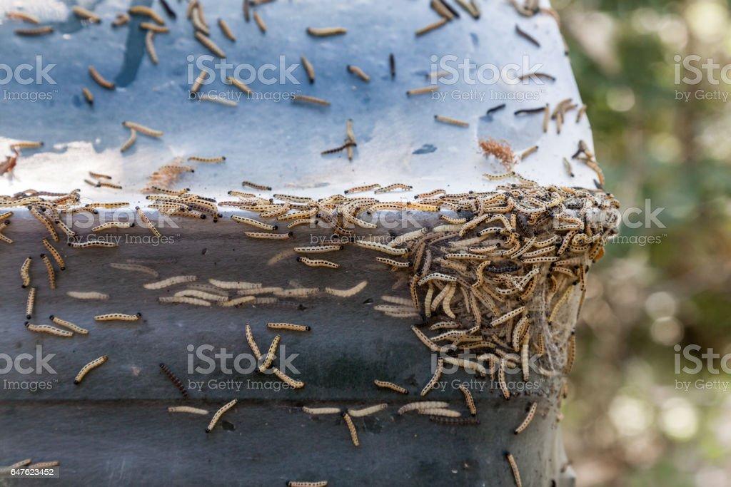 Nahaufnahme Vieler Ermine Moths Larven Maden Zusammen Auf ...