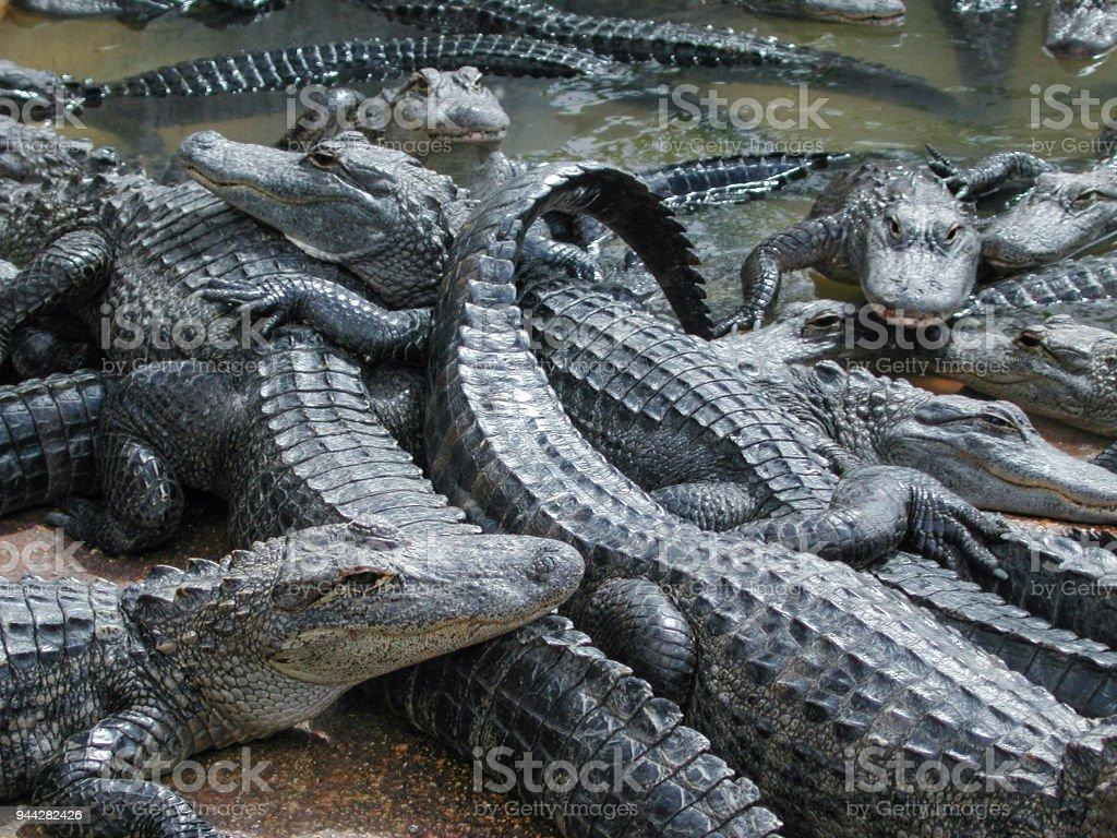 Primer plano de muchos grandes caimanes cautivos - foto de stock