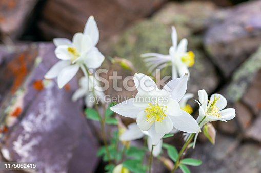 Closeup of many white columbine flowers wildflowers on Snowmass Lake hike trail in Colorado in National Forest park