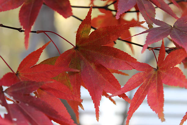 close-up of maple leaves in their red state - pam schodt stock photos and pictures