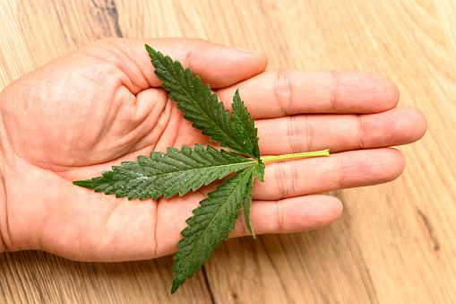 Close-up of marijuana cannabis leaf on wood background