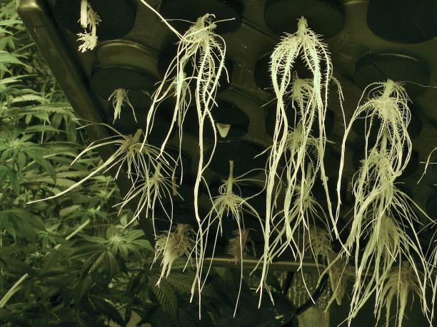 Closeup of Marijuana Roots grown in a Clone Machine stock photo