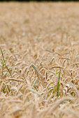 Closeup of maturing rye awns in the rye field. Agriculture, farming, food, GMO and beer concepts.