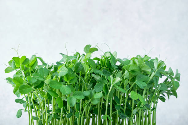 Close-up of microgreen peas. Concept of home gardening and growing greenery indoors stock photo