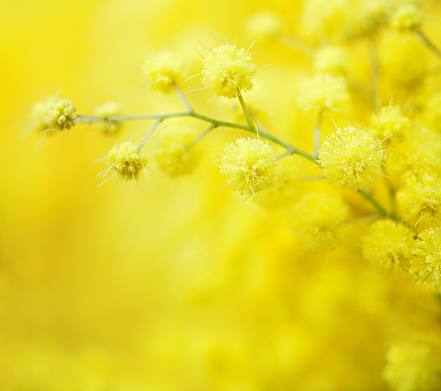 Close-up of mimosas yellow spring flowers on defocused yellow background. Very shallow depth of field.  Selective focus.