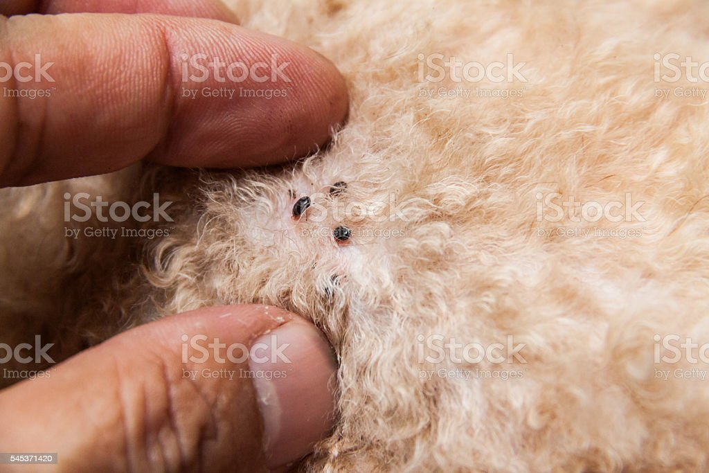 Closeup of mite and fleas infected on dog fur skin - foto de stock