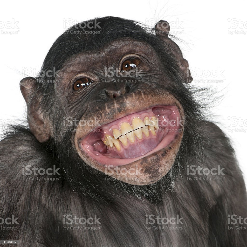 Close-up of Mixed-Breed monkey between Chimpanzee and Bonobo smiling. stock photo