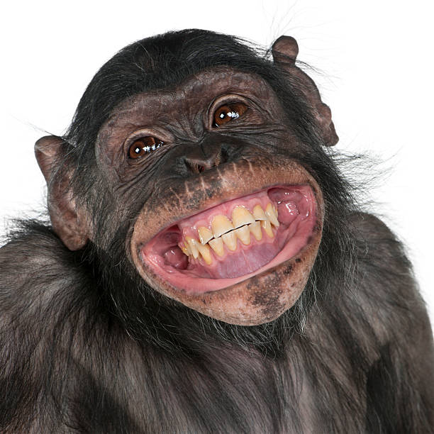 close-up of mixed-breed monkey between chimpanzee and bonobo smiling. - ape stock pictures, royalty-free photos & images