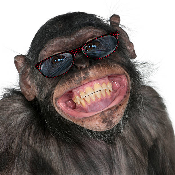 close-up of mixed-breed monkey between chimpanzee and bonobo smiling - ape stock pictures, royalty-free photos & images