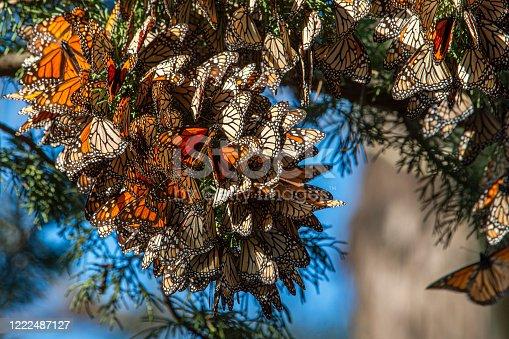 Monarch butterfly (Danaus plexippus) resting on a tree branch near the winter nesting area.  Taken in Santa Cruz, CA, USA