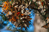 Monarch butterfly (Danaus plexippus) resting on a tree branch near the winter nesting area.\n\nTaken in Santa Cruz, CA, USA