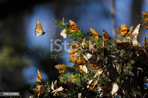 Monarch butterfly (Danaus plexippus) resting on a tree branch in their winter nesting area.
