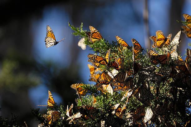 close-up di farfalle monarca su branch - farfalla ramo foto e immagini stock