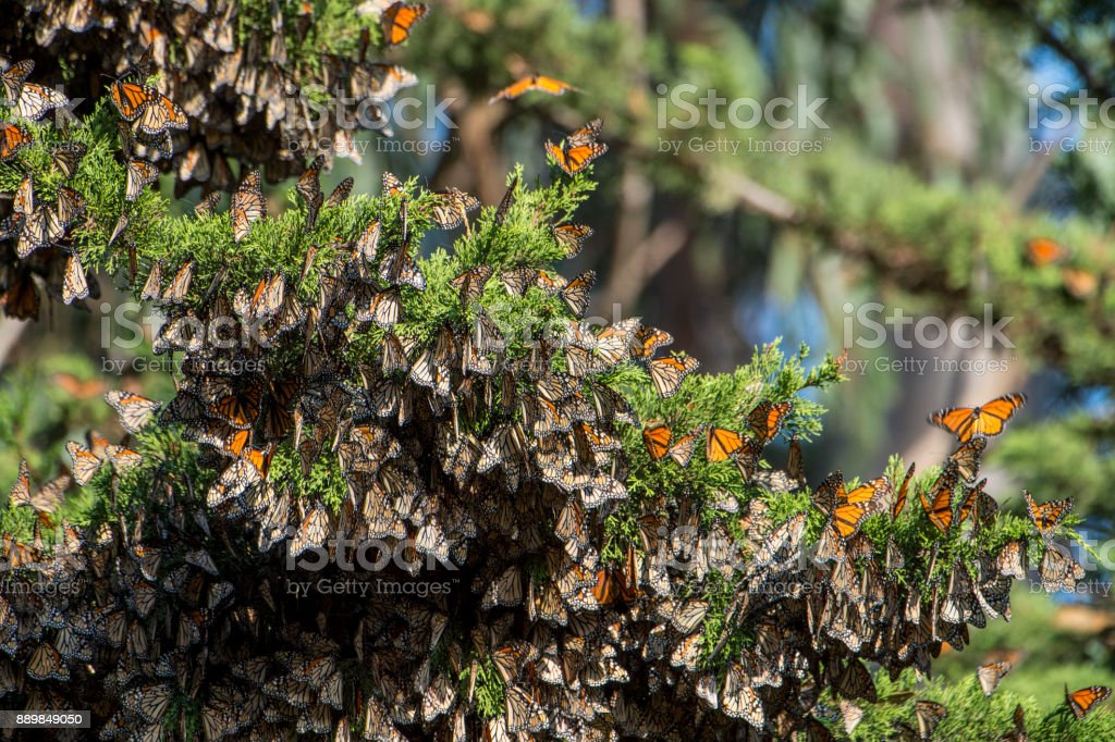 Close-up of Monarch Butterflies on Branch stock photo
