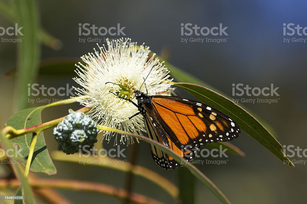 Close-up of Monarch Butterfly on Branch royalty-free stock photo