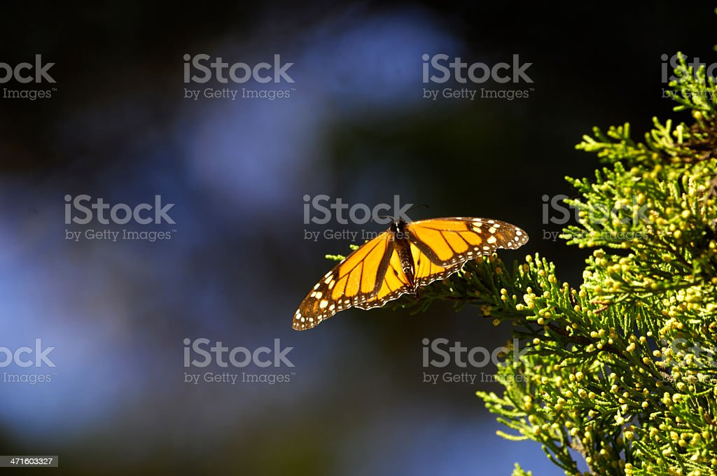 Close-up of Monarch Butterfly on Branch stock photo