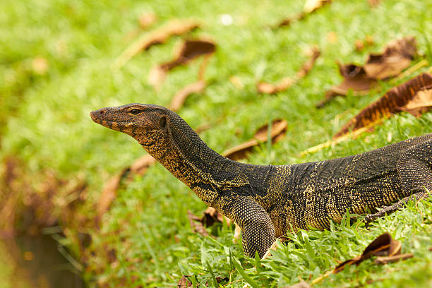 Closeup of monitor lizard - Varanus on green grass stock photo