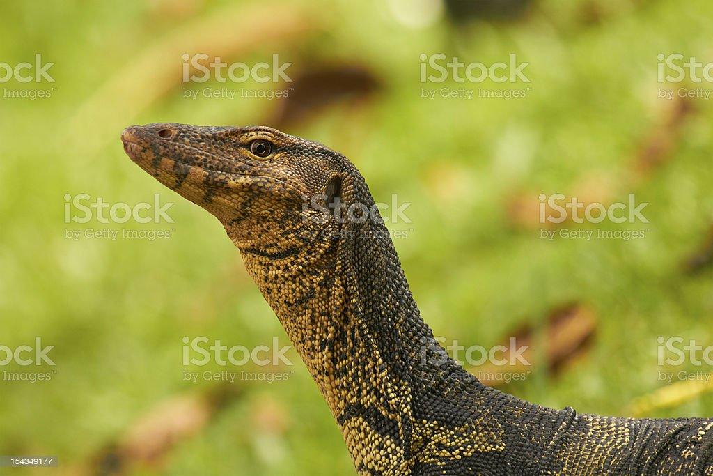 Closeup of monitor lizard - Varanus portrait green grass stock photo