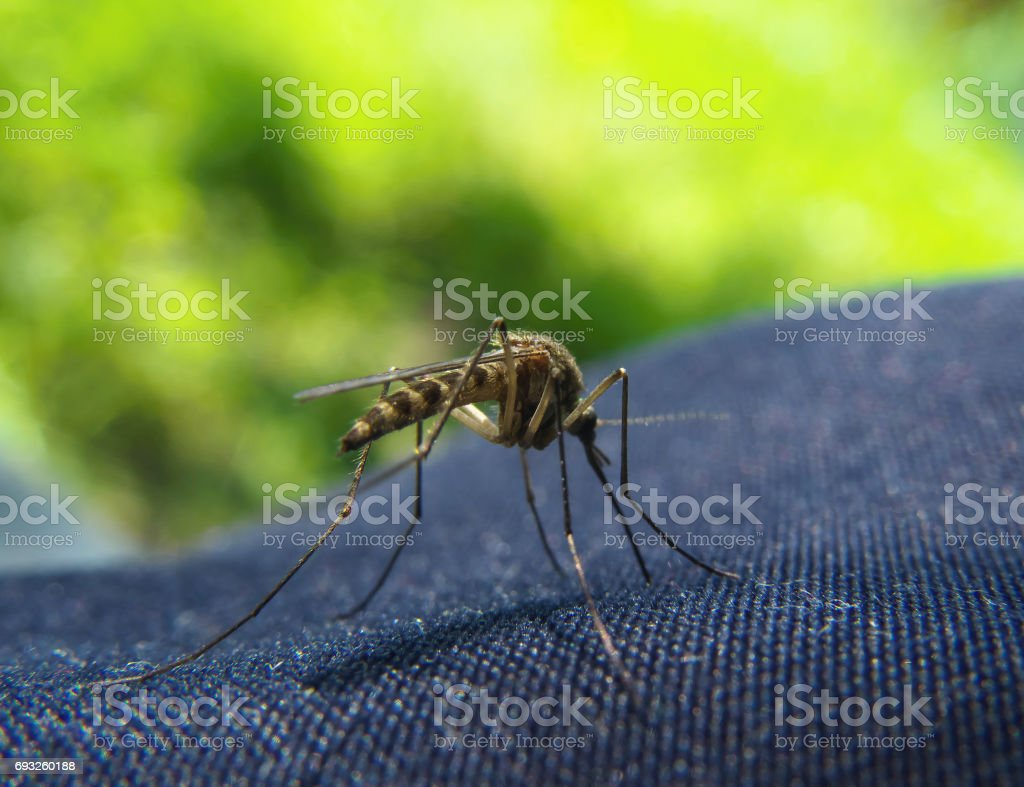 Closeup of Mosquito trying to bite through a jeans clothes stock photo