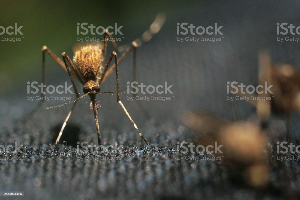 close-up of mosquitoes stock photo