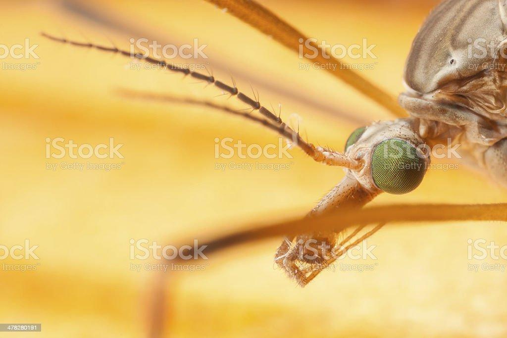 Closeup of mosquito's head royalty-free stock photo