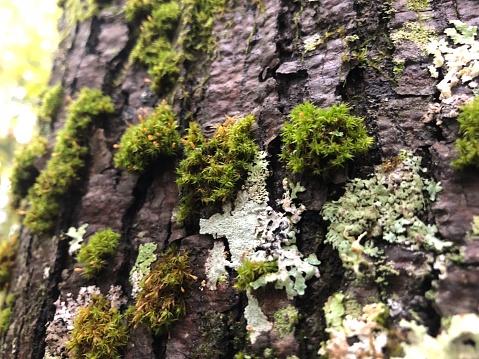 617378218 istock photo Closeup of Moss and Lichen on Tree Bark 1061697806