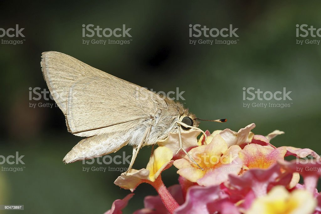 Closeup of moth having a meal 2 royalty-free stock photo