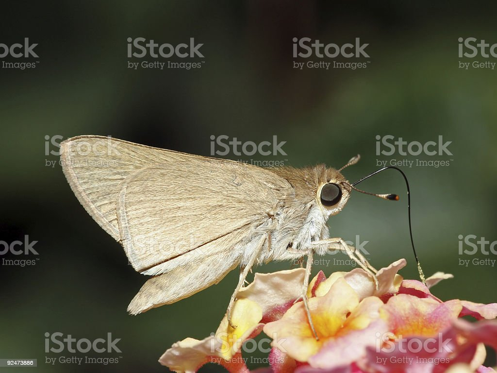Closeup of moth having a meal royalty-free stock photo
