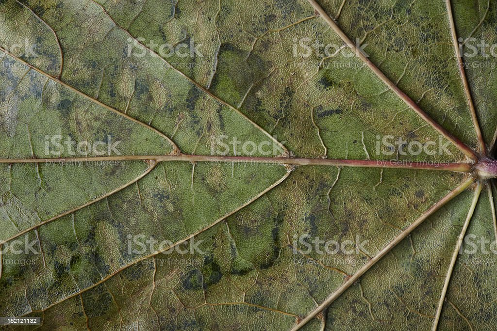 Close-up of mottled autumnal plane tree leaf royalty-free stock photo