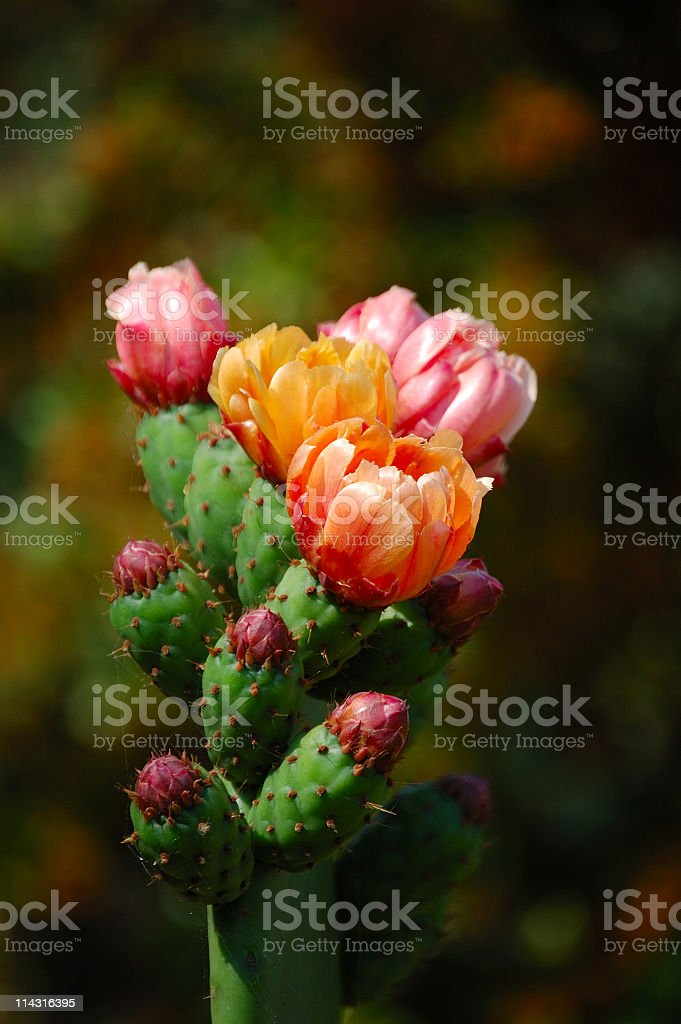Close-up of multicolored prickly pear flowers on green stem stock photo