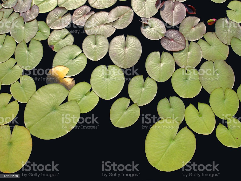 A close-up of multiple lily pads on a lake stock photo