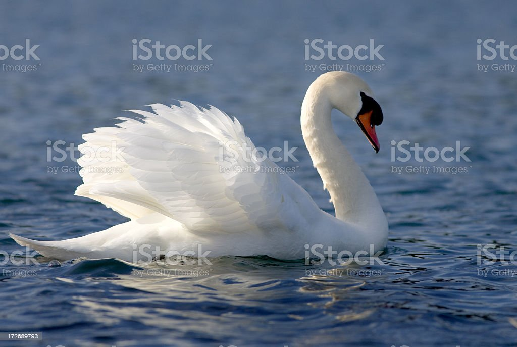 Close-up of mute swan floating on the water stock photo