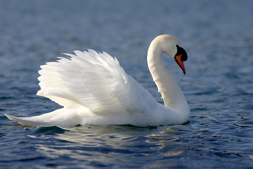 Closeup Of Mute Swan Floating On The Water Stock Photo ...
