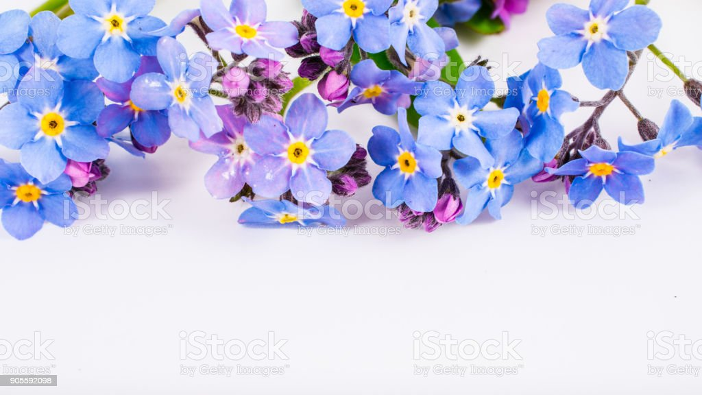 close-up of Myosotis or forget-me-nots on white background with copy space. macro spring and summer border template floral. mockup greeting and holiday card. stock photo
