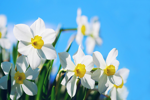 closeup of narcissus flowers on flowerbed against blue sky background with copy space